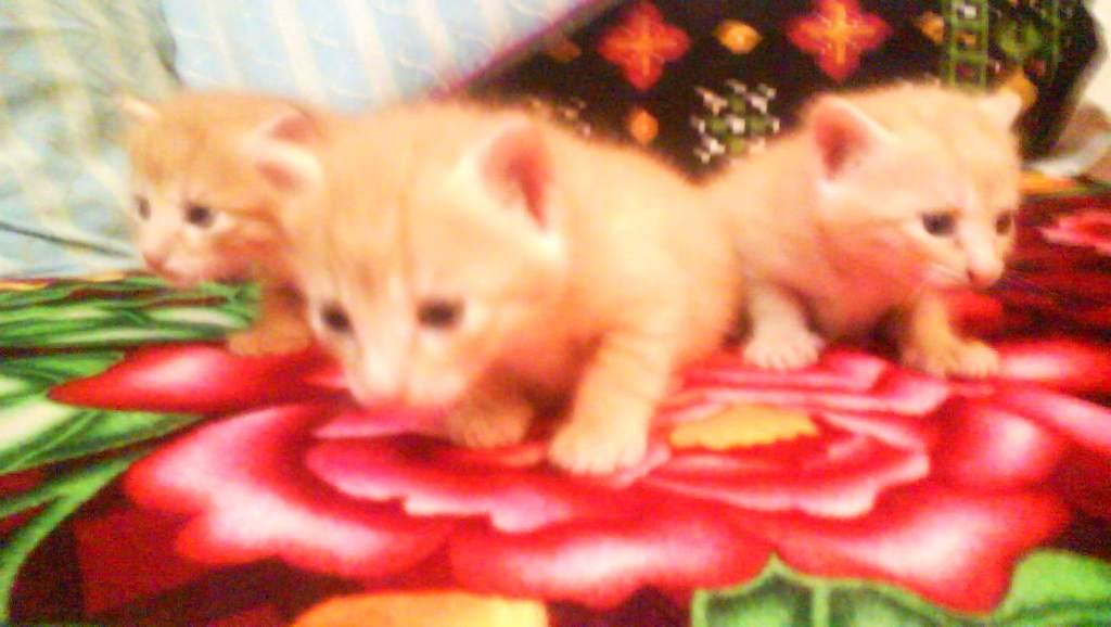 Cat Triplets